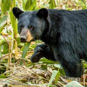 black_bear_corn_2